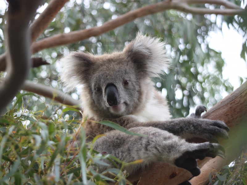 Cual es la fauna de Australia que tengo que ver en Australia Cris and Kim australia Koala