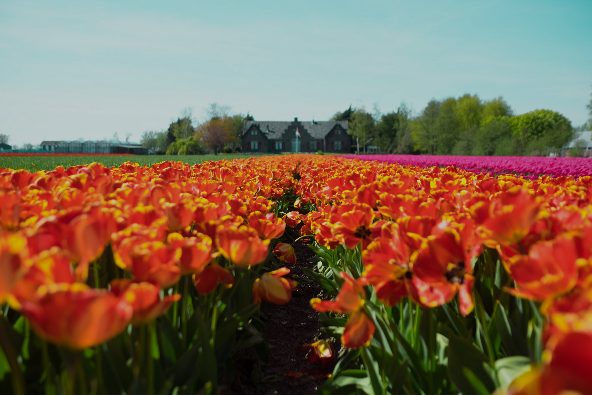 THE NETHERLANDS IN BLOOM